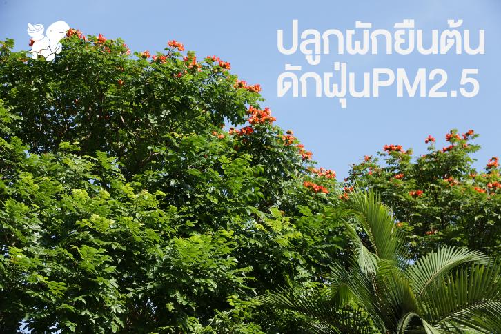 ปลูกผักยืนต้น ดักฝุ่นPM2.5
